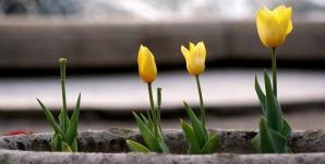 tulips-447602_960_720
